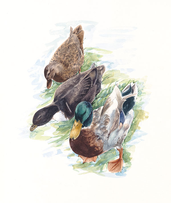 Foraging Ducks