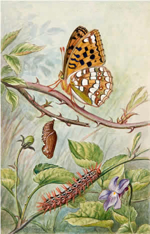 Life Cycle of the High Brown Fritillary (Argynnis Adippe)